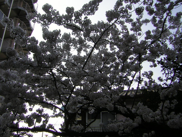 桜満開です!!